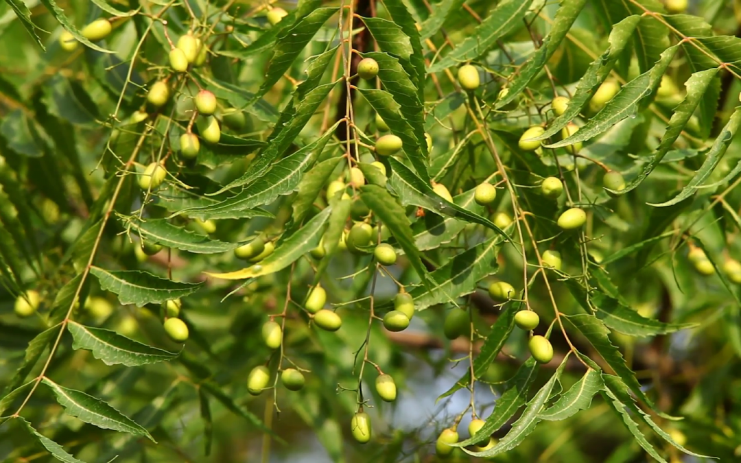 Neem Oil – The All-Purpose Sacred Herb